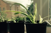 grow baby spider plants