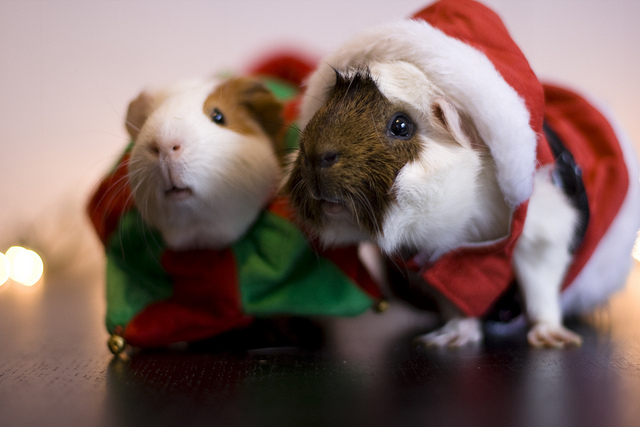 Guinea pig wearing clothes