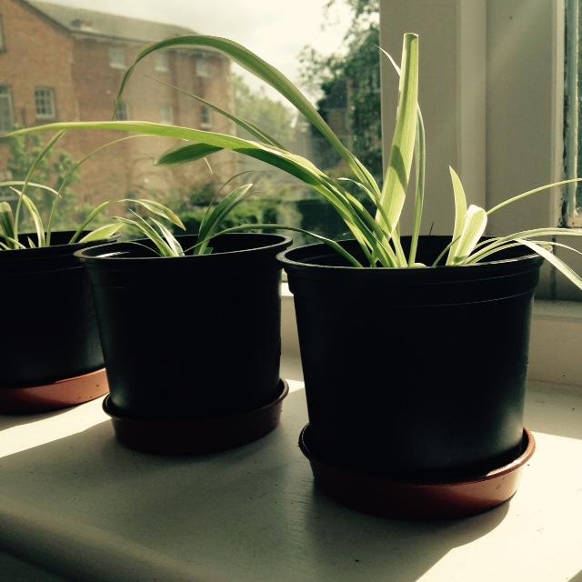 grow baby spider plants