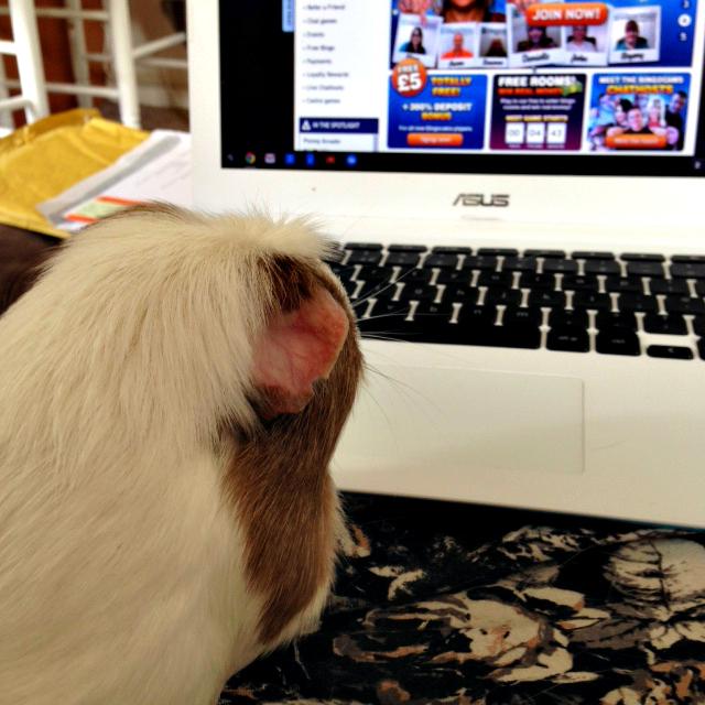 guinea pig playing bingo