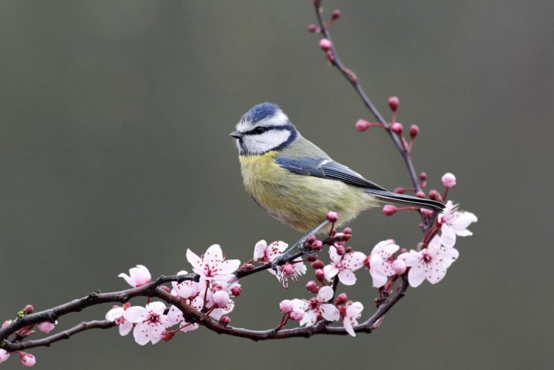 blue tit spring