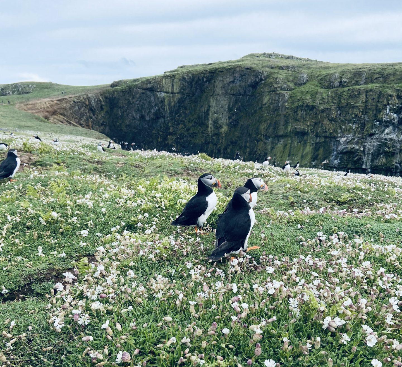 Skomer Island puffins